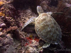 Turtle by Pamela Lim