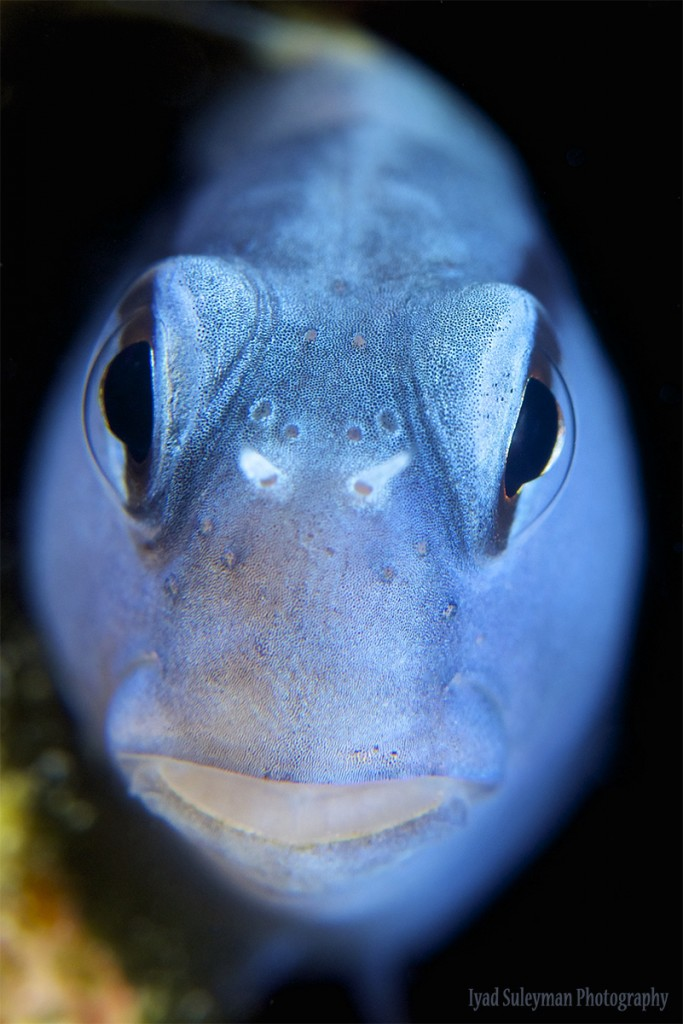 Iyad Suleyman // Blenny Portrait, taken with Nikon D800e, AF-S Micro-Nikkor 60mm lens, SubSee +10; Camera settings: ISO125, f/13, 1/160s