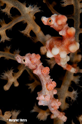 Margriet Tilstra // Two Pygmy seahorses taken with D80 + Nikon 105mm f/2.8.