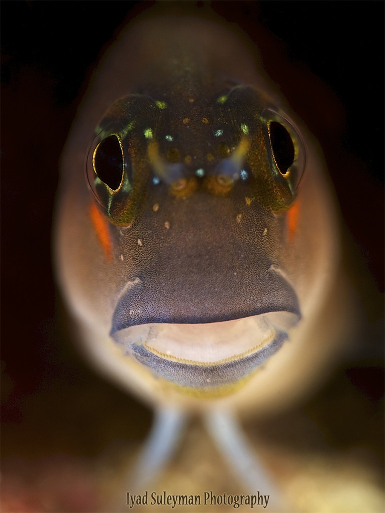 Iyad Suleyman // Blenny Portrait, taken with Nikon D3s, Sigma 150mm lens, +10SubSee and +5 SubSee; Camera settings: ISO100, f/20, 1/200s