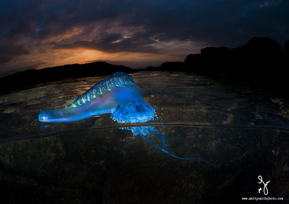 © Matthew Smith | I love how the pneumatophore (air bladder) of this bluebottle caught the light from my underwater strobe and lit up like a fluorescent tube!! Amazing!