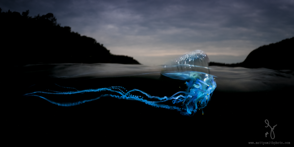 © Matthew Smith | A bluebottle over/under on a stormy morning, lit from underneath with two snooted strobes.