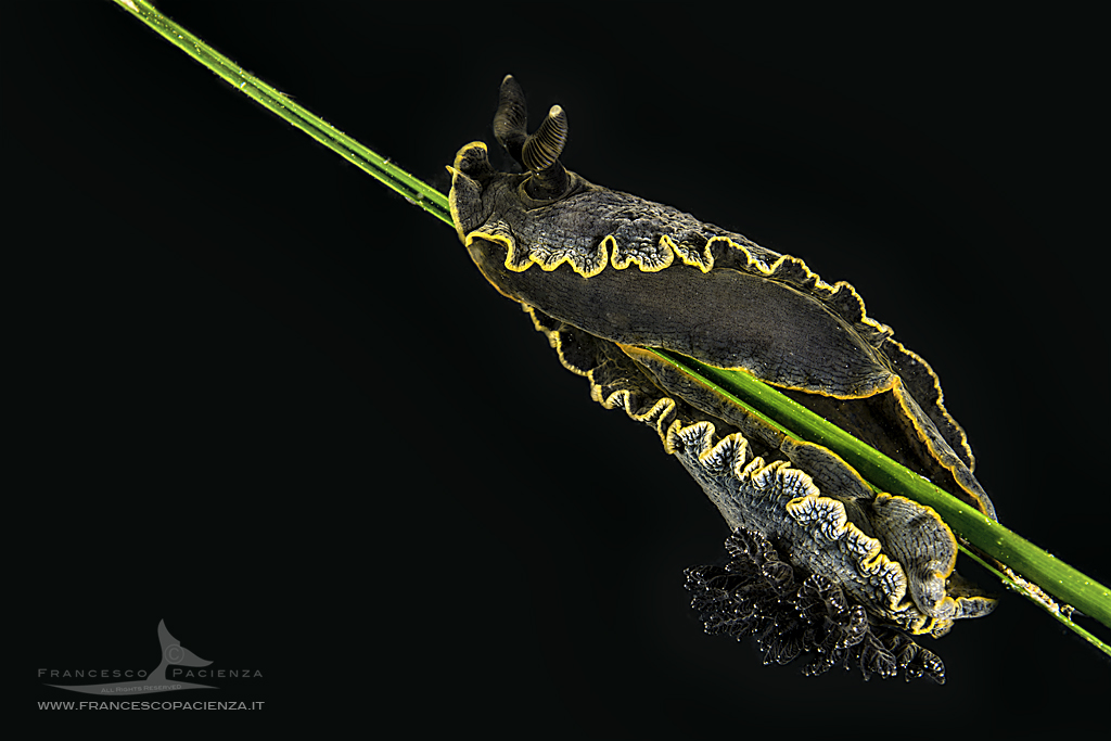 © Francesco Pacienza | The Dendrodoris limbata is an elegant nudibranch from black or dark gray livery; difficult to photograph on a black background or on a mirror, as well as on a white background: the light must be well directed to draw the contours and but carefully managed for a correct exposure of all the elements that make up the scene being photographed.