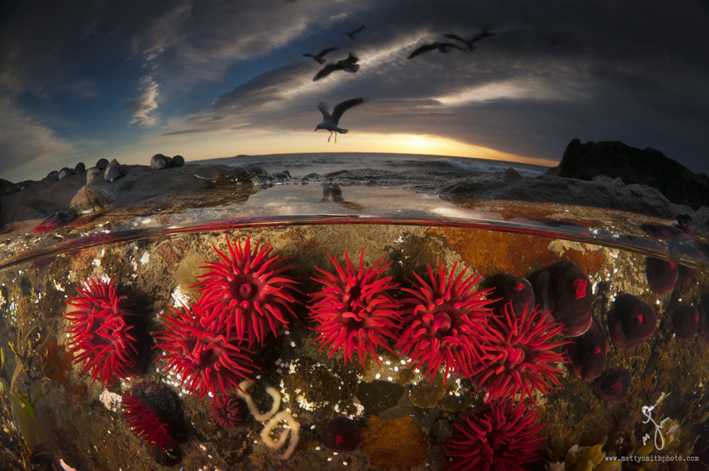 © Matthew Smith | Free from artificial colours or preservatives.. Crimson waratah anemones in a rock pool during sunrise. These guys are named after the beautiful red Australian Waratah flower.