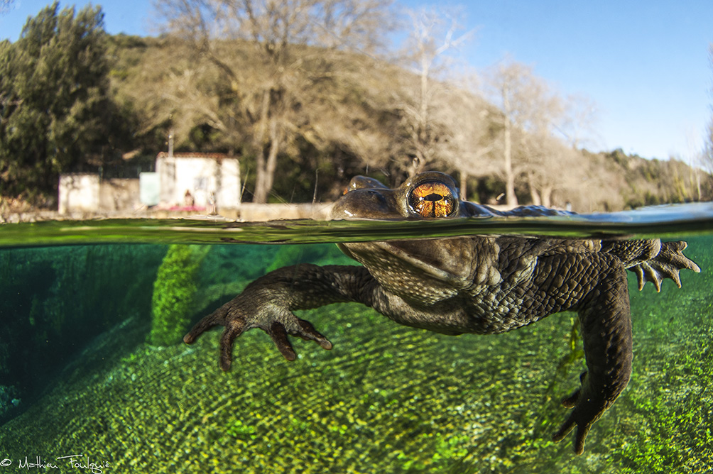 "© Mathieu Foulquié | Bufo bufo_France : I knew this ""kind of ""secret spring (of the river called ""la Buèges"") for years. I've never been there during winter since last time, and the toad was in hibernation period, BUT in the water (the water temperature of this spring never goes down 13°C). The toad's hibernation period does not contain a total lethargy. The animal is not sluggish: if you touch him, he reacts immediately. However, the physiological functions are quiet slow. That's exactly what happened. he became so friendly that he followed me, always coming towards me (maybe also intrigued by my front-dome, and his own reflect on it)."