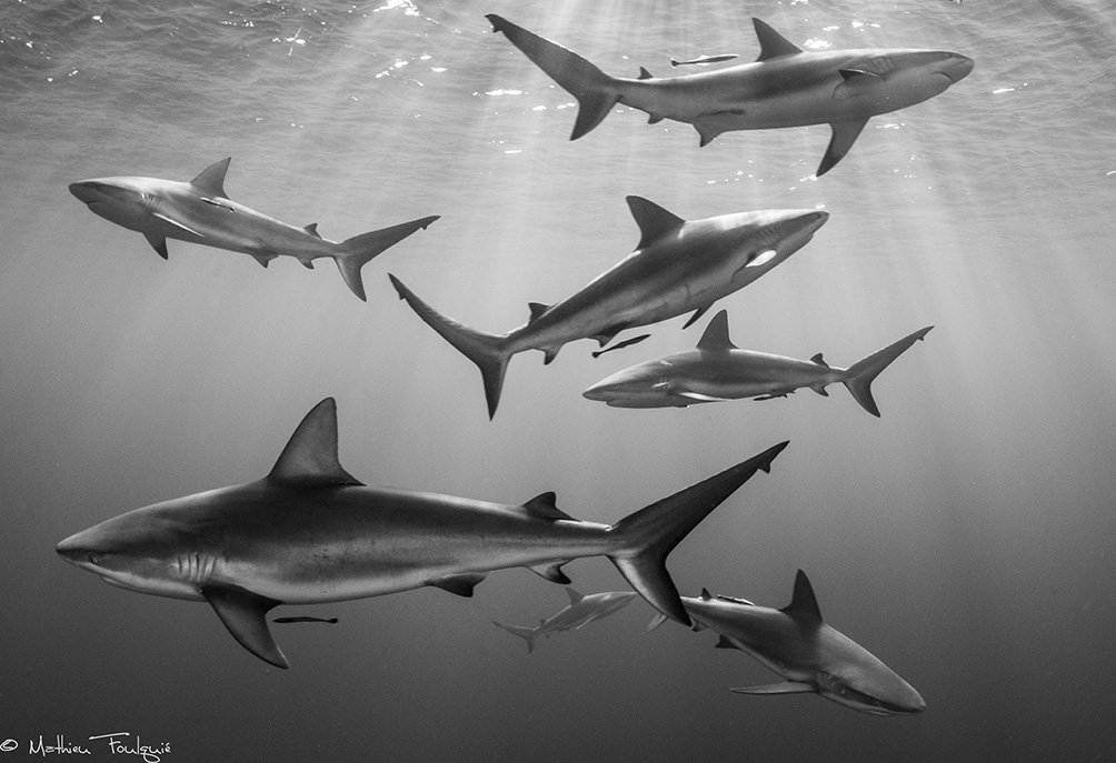 "© Mathieu Foulquié | 7 Carcharhinus perezi, caribbean reefs sharks, ""Gardens of the queen"" national park, Cuba"