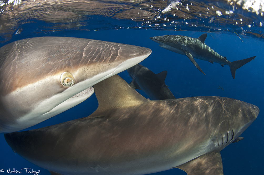 "© Mathieu Foulquié | silky sharks (Cuba) : This shark is among the most popular sharks species in ""gardens of the queen"" national marine park"
