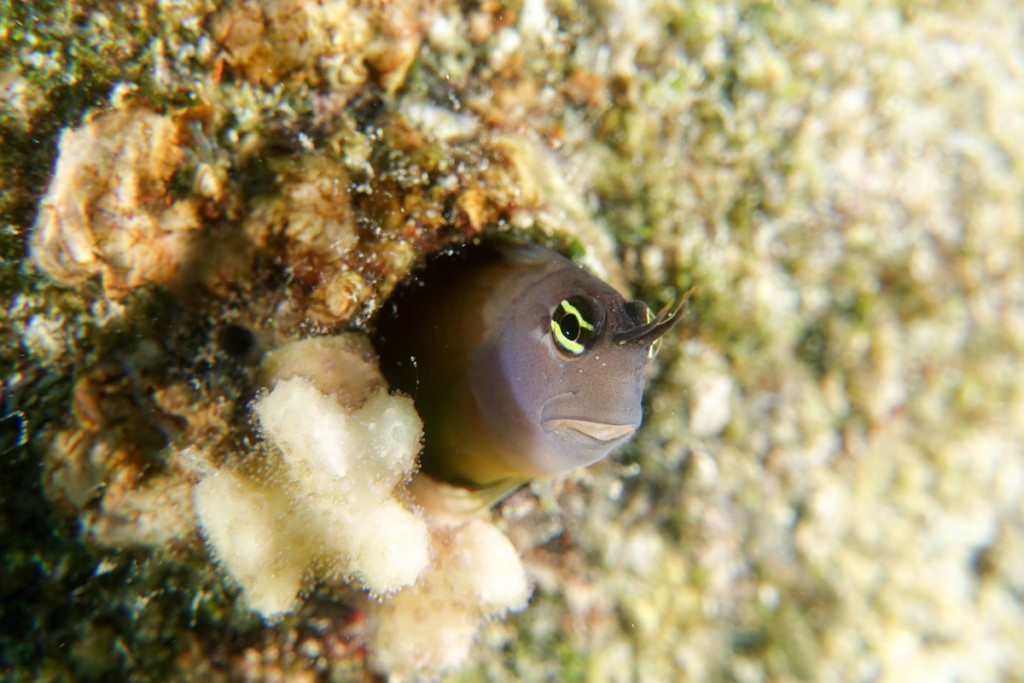 Blenny taken with a Sony RX100 III and +10 closeup lens.