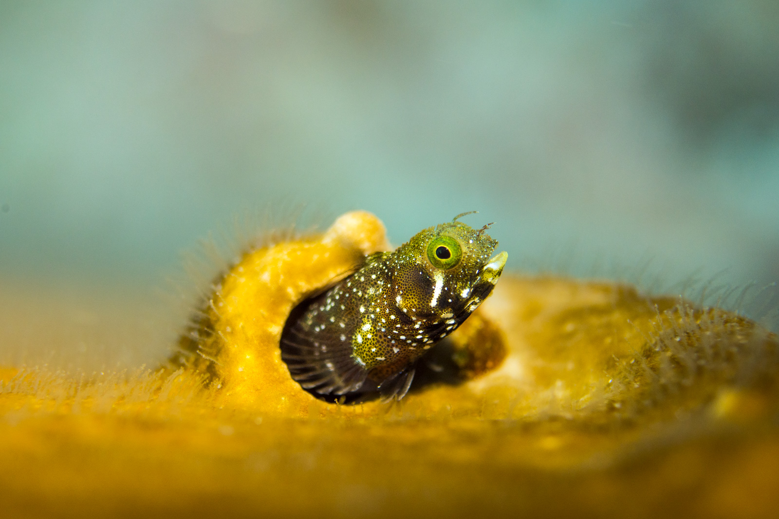 Blenny taken with a 60mm Macro lens, under a spot light from an I-Torch Venom 35s.