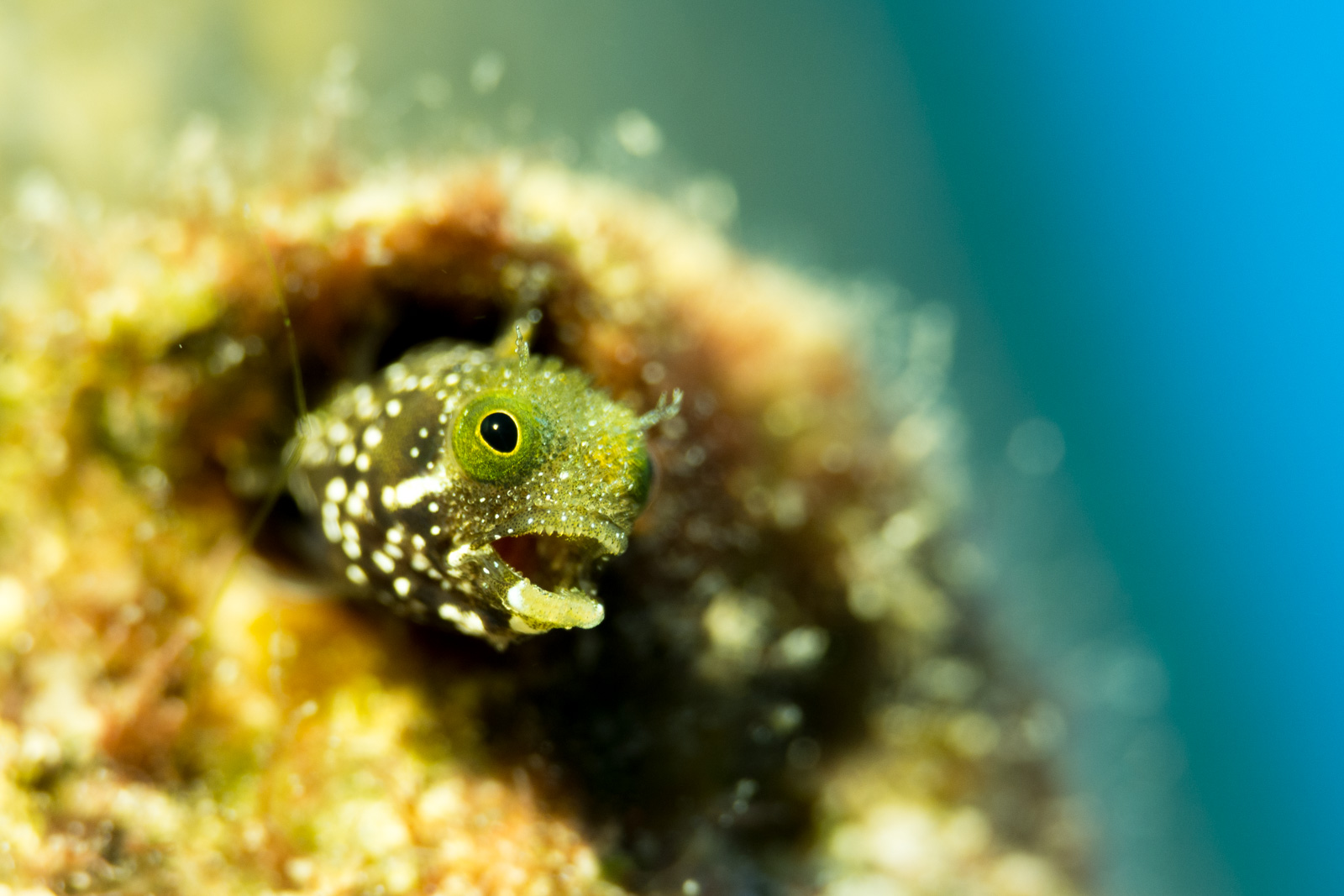 Blenny taken with a 60mm Macro lens, under a spot light from an I-Torch Venom 35s. ISO 500, 1/200, F/6.3