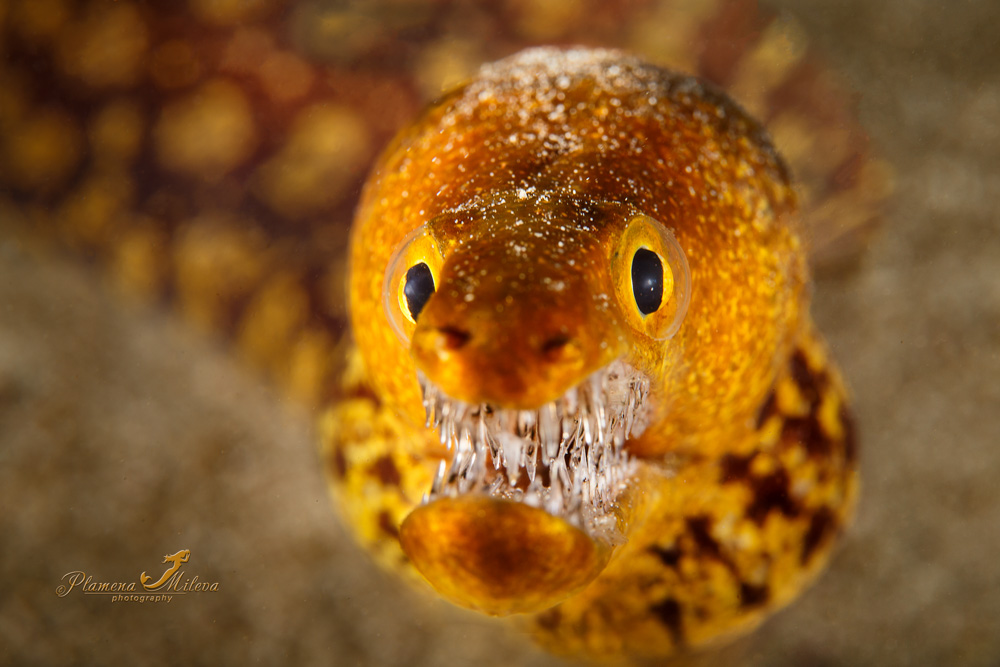 "© Plamena Mileva | Fangtooth Moray or Tiger Moray This Tiger Moray or Fangtooth Moray is distinctive for its bright colours and elongated jaw, which is filled with a large number of long ""glasslike"" teeth. It can reach up to 120 cm in length"