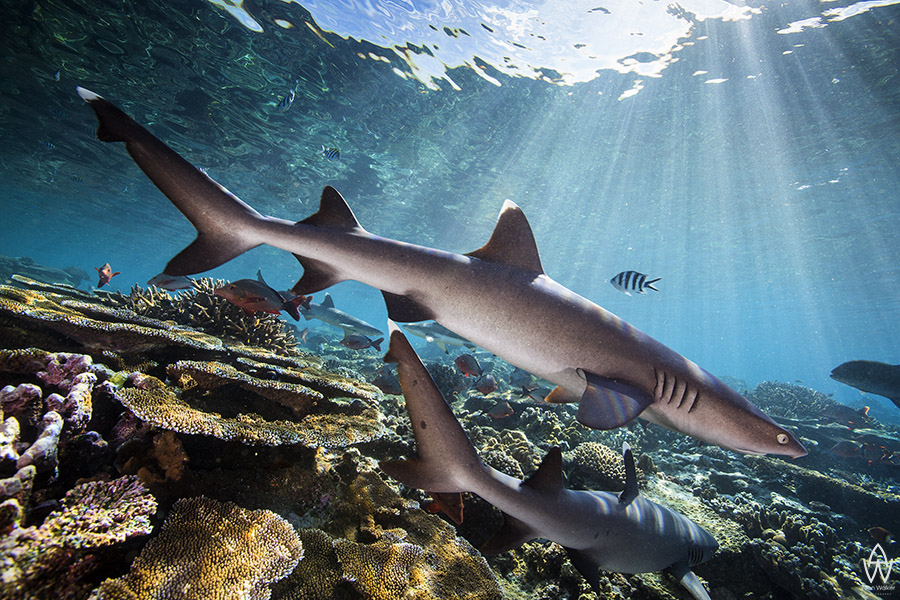 © Allen Walker | The Shallows White Tip Reefsharks on Shark Reef in Fiji - one of the healthiest reef systems I have seen.