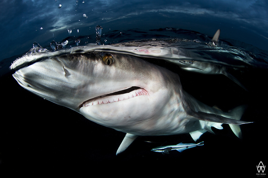 © Allen Walker | Crazy Face The photograph, Crazy Face, was taken off Aliwal Shaol at a spot known as Shark Park in South Africa. The intention of for this project was to capture a black tip shark up close and personal and to show that these are not mindless predators, it also shows that we are able to interact with these animals in close quarters and be perfectly safe, obviously this requires a good understanding of the animal and its environment - Knowledge of sharks and their biology and ecology is vital to our understanding of the oceans. The sharks position in the ecosystem as apex predators mean that they regulate the species below them. Without them these species would proliferate and cause imbalances in the cycle of marine life. A better understanding of sharks and the marine eco-system is required if we are to successfully manage our marine resources. The serious decline in shark numbers around the world will and is already having a major effect on the oceans eco systems, which are so vital to humanities survival.