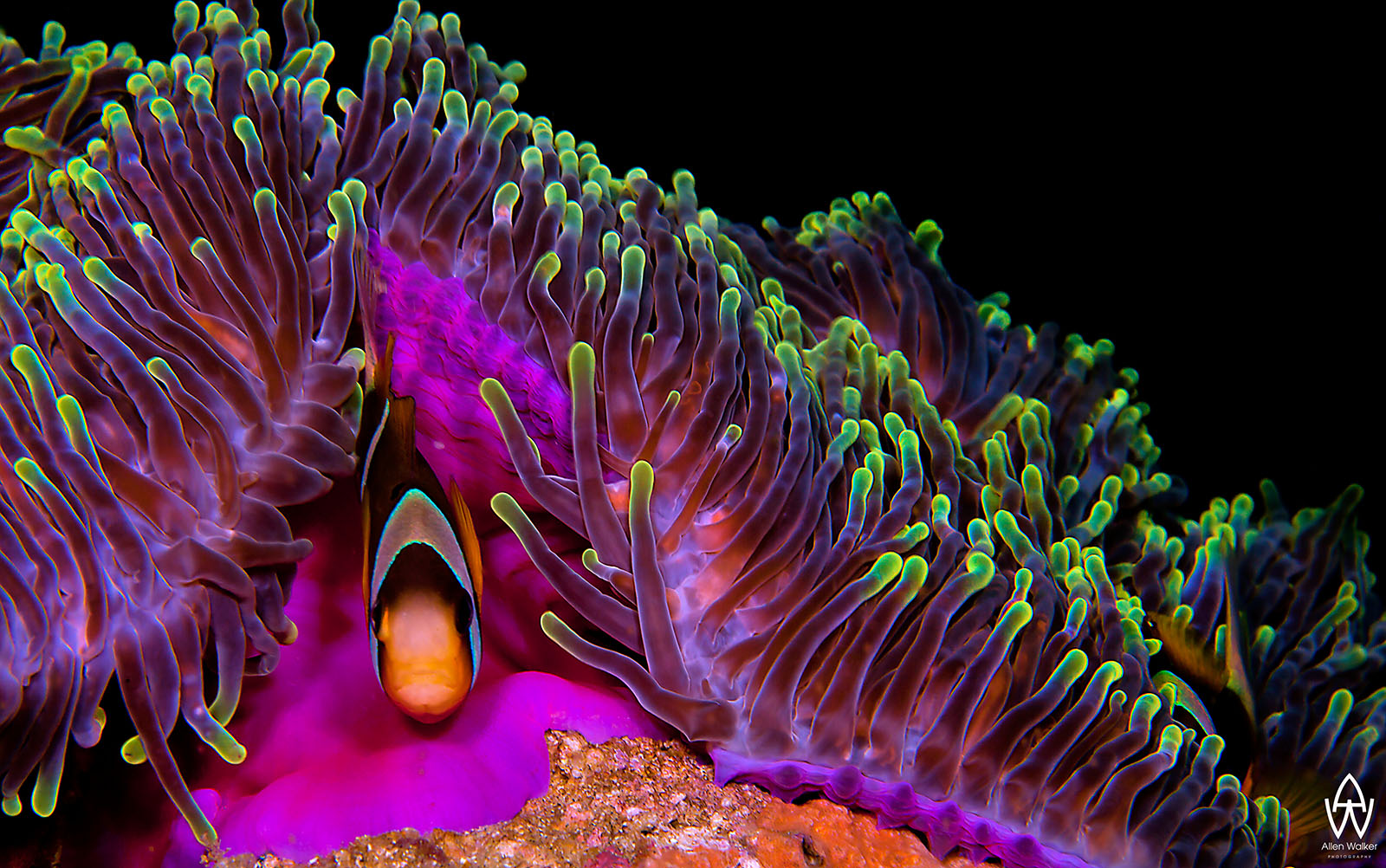© Allen Walker | Home A Twobar Anemonefish using his host for protection showing off the amazing colours of them both in the process