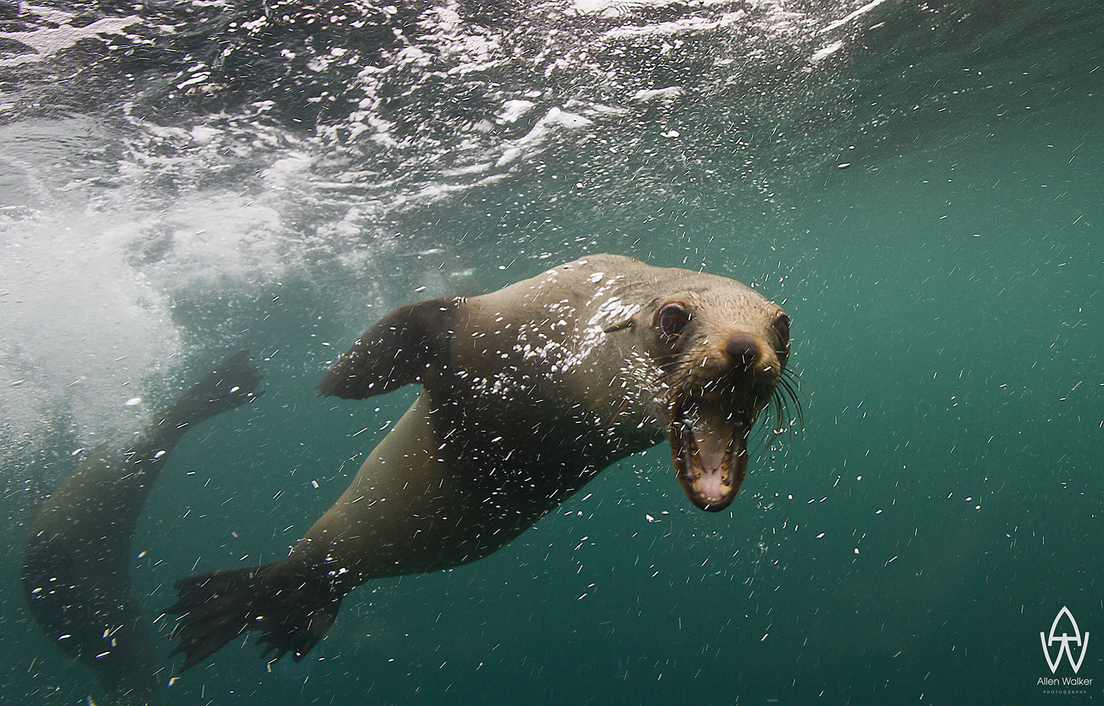 © Allen Walker | Attitude Cape Fur Seal letting me know whos boss in these waters with their typical challenges.