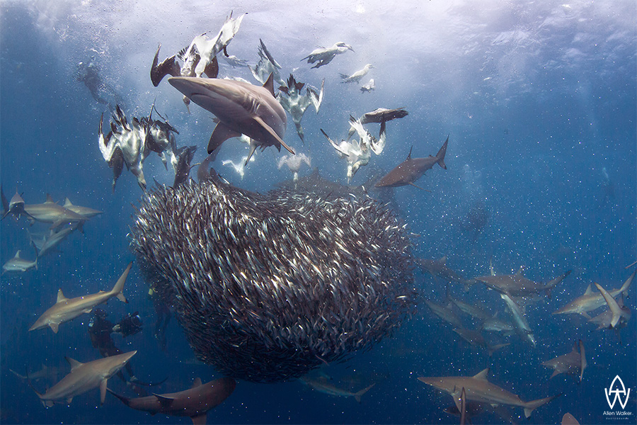 © Allen Walker | The Order of Things A bait ball is devoured by hungry sharks and gannets of the Transkei Wild Coast during the annual sardine run, this was a very special occasion as it was the first time ever that the bait fish were totally controlled by a vast number of sharks with no dolphins (estimated to have had 300+ sharks on this bait ball.
