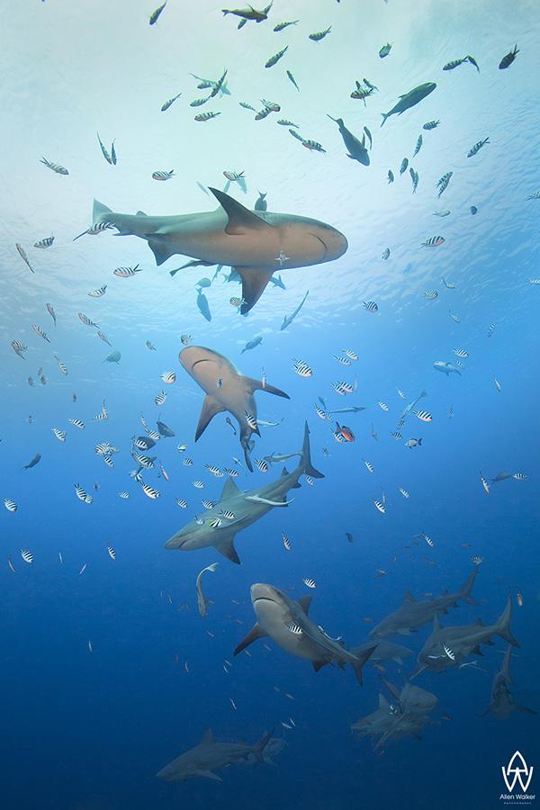 © Allen Walker | Zig Zag Fiji's famous bull sharks doing some synchronised swimming for me ;)