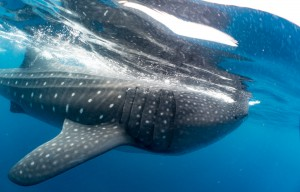 Whale Sharks Isla Mujeres Sony A6300