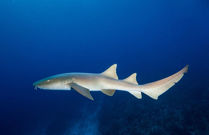 Nurse Shark, Belize