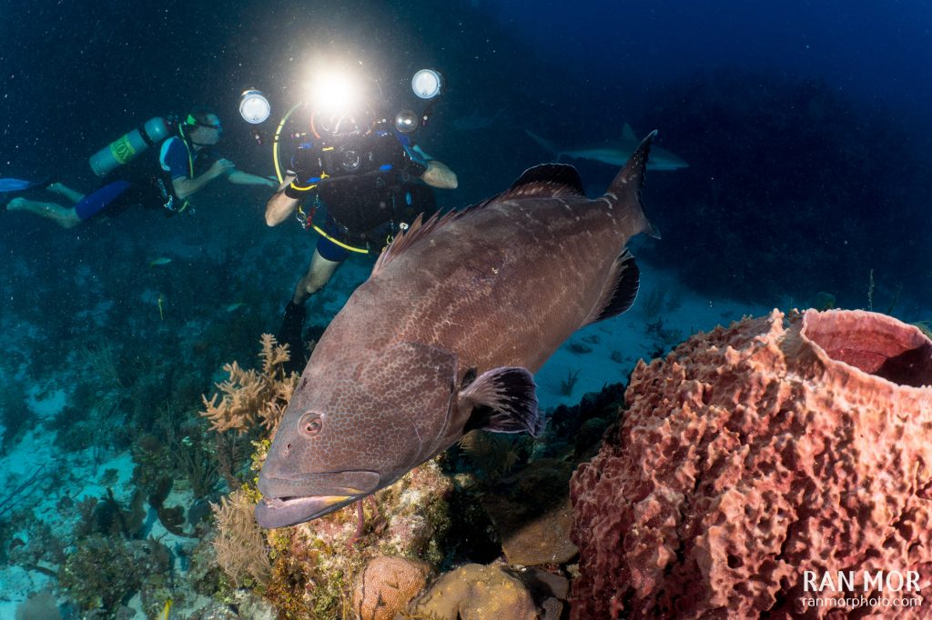 Diver taking a photo of a Black Grouper, Gardens of the Queen, Cuba