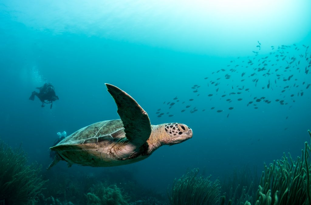 Turtle swimming, Bonaire