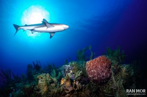 Caribbean Reef Shark in Gardens of the Queen - Sony RX100 Mark V Underwater