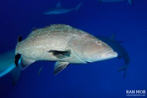 Grouper in Gardens of the Queen - Sony RX100 Mark V Underwater