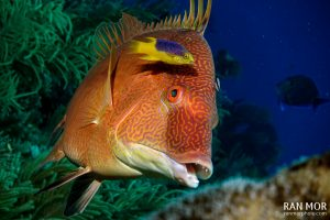 Hogfish in Gardens of the Queen - Sony RX100 Mark V Underwater