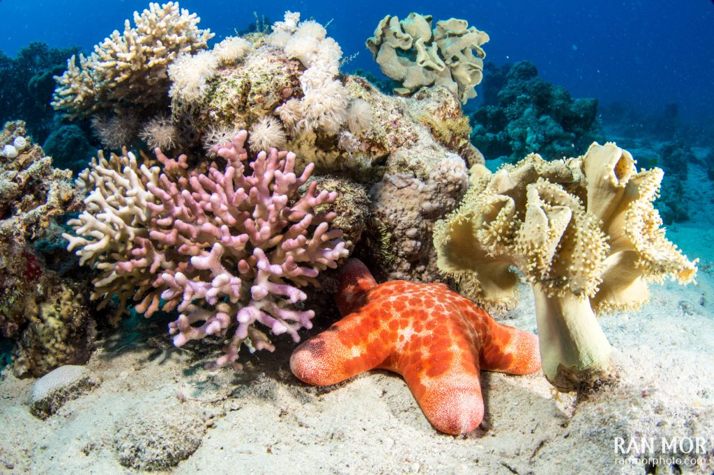 Red Sea, Starfish