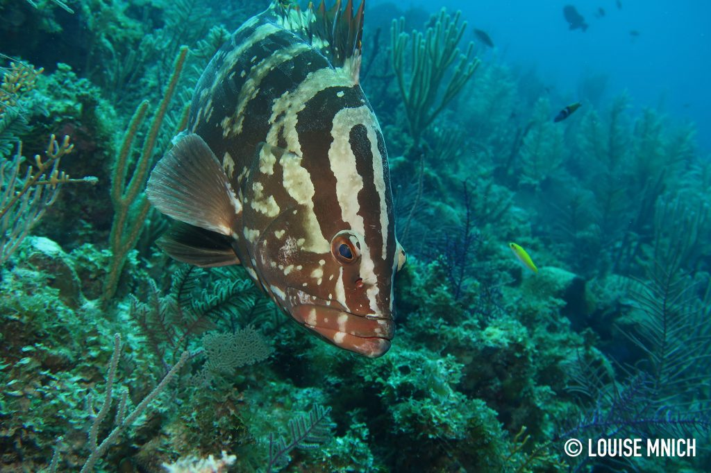 Nassau Grouper, taken by Louise on one of her first attempts with G7XII + Inon S-2000 Strobe