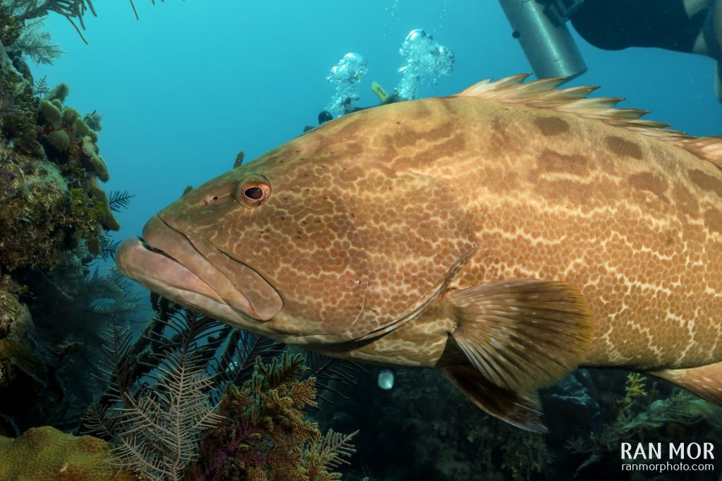 Black Grouper, Gardens of the Queen, Cuba