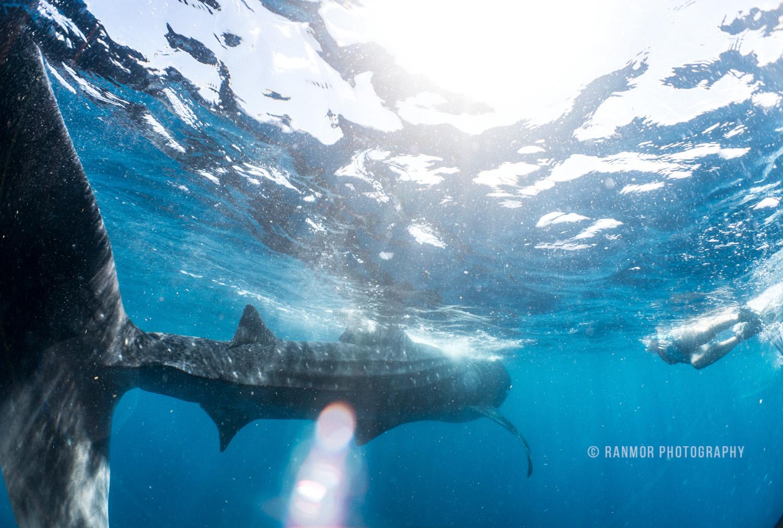 Whale Shark Isla Mujeres Mexico