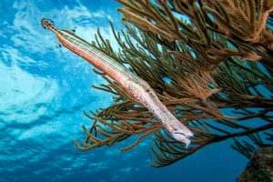 Bonaire G7X Mark II Trumpetfish