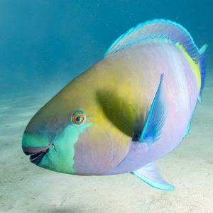 Parrotfish taken with the Sony A6500 + 10-18mm Lens in the Fantasea FA6500 + Dome