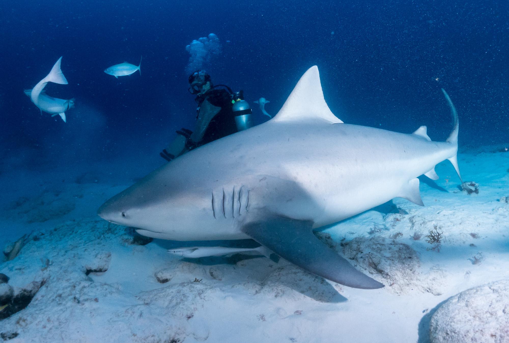 Bull Sharks, Playa Del Carmen