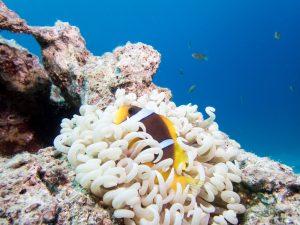 Olympus TG-5 Underwater - Clownfish anemone