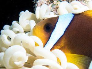 Olympus TG-5 Underwater - Clownfish anemone close up