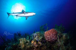 Caribbean Reef Shark in Gardens of the Queen, Cuba
