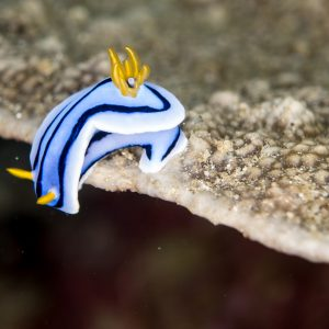 Nudibranch in Puerto Galera, Philippines