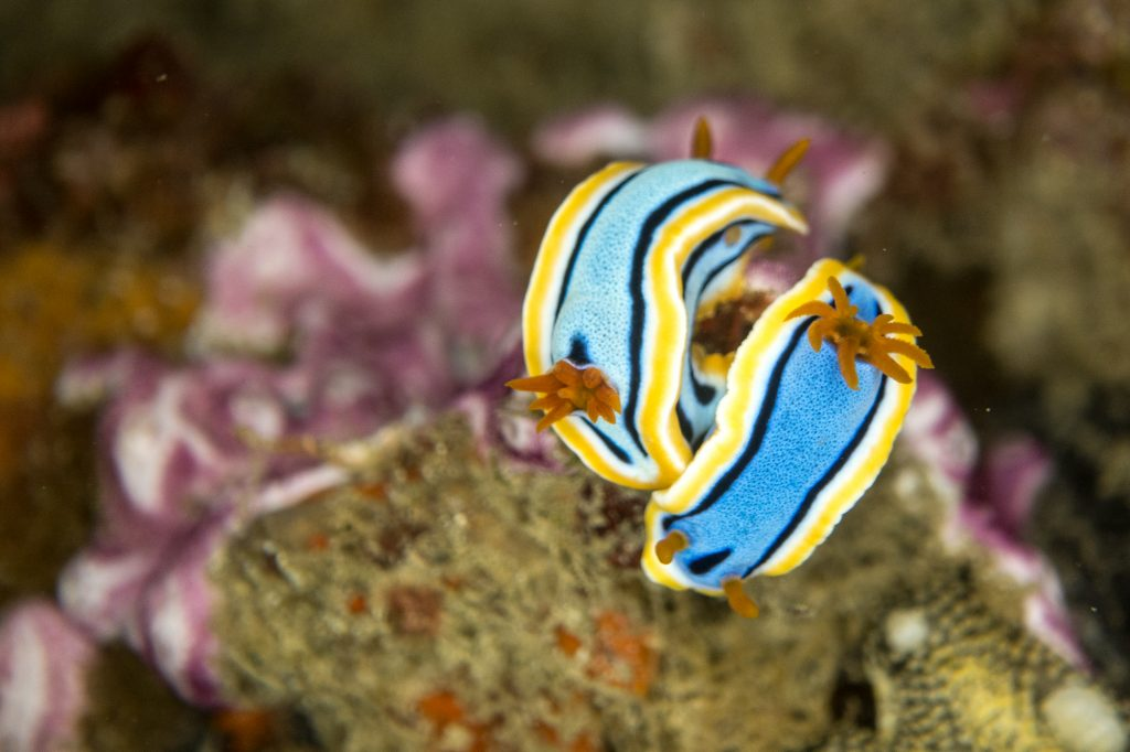 Nudibranchs in Puerto Galera, Philippines