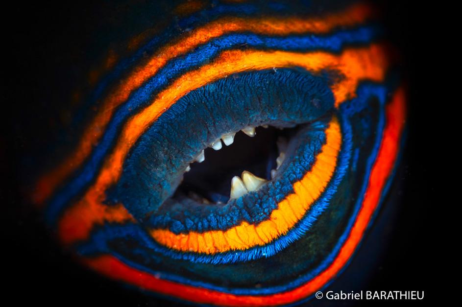 Gabriel Barathieu Triggerfish