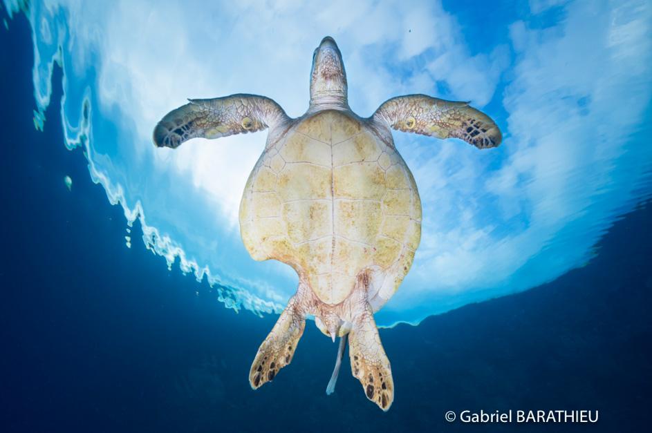 Gabriel Barathieu Turtle