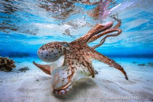 Gabriel Barathieu Octopus