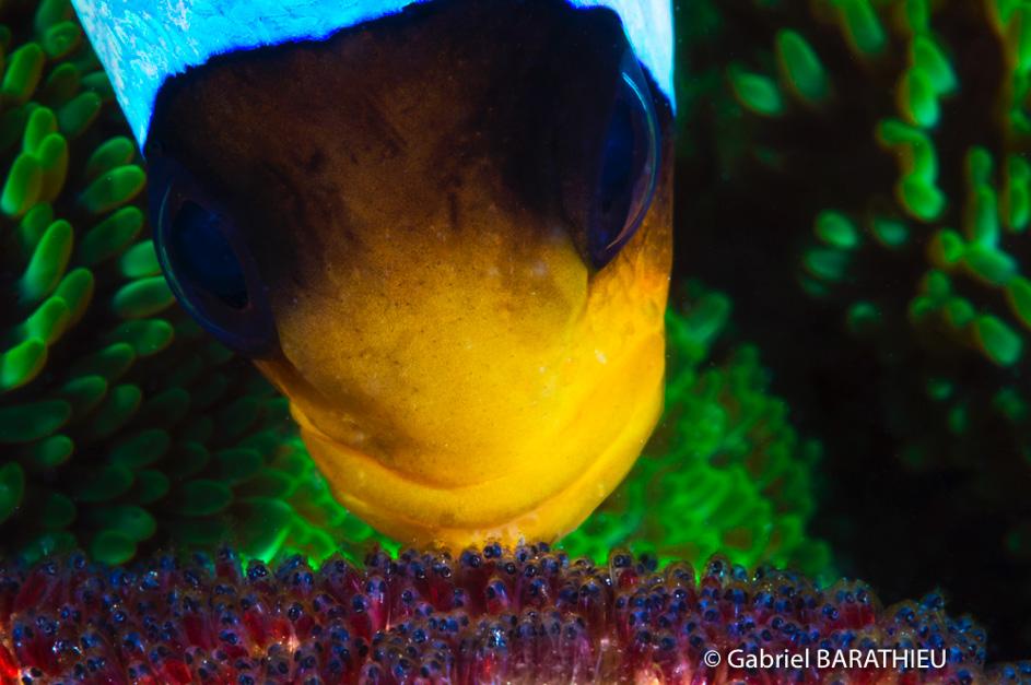 Gabriel Barathieu Clownfish