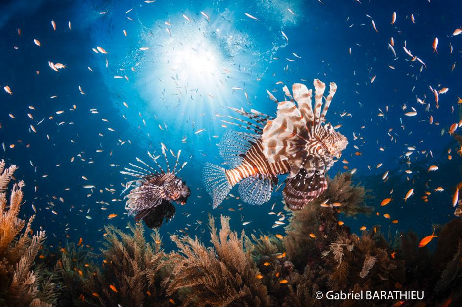 Gabriel Barathieu Lionfish