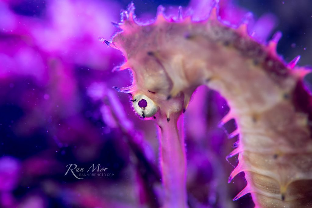 Sea Horse with backlight using the Kraken Hydra 2500