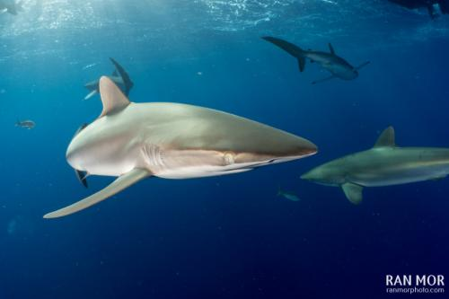 Silky Shark - Gardens of the Queen, Cuba